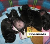 Черни бебета Мопс родени на 09.11.2012г.