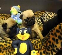 Черни и светлобежови бебета Мопс родени на 22.08.2013г.