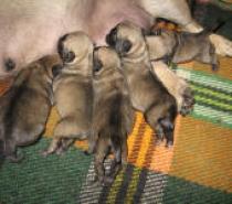 Светлобежови бебета Мопс родени на 29.12.2013г.