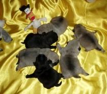 Черни и светли бебета Мопс родени на 23.12.2013г.