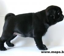 Черни бебета Мопс родени на 05.05.2014г.