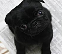 черни бебета мопс родени на 18.12.2014г.