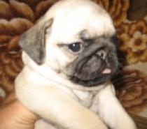 Чистокръвни бебета Мопс родени на 06.03.2015г.
