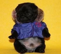 Черни бебета Мопс родени на 22.11.2016г.