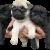 Черни и сребърни бебета Мопс родени на 18.02.2017г.