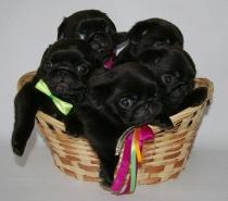 Черни бебета Мопс родени на 15.10.2017г.