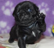 Черни бебета Мопс родени на 04.06.2018г.