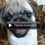 Видео галерия Мопс