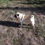 Pug breeder Mops