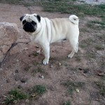 Pug from Bulgaria
