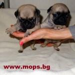 гр.Трън най-големия развъдник в България за кучета мопс
