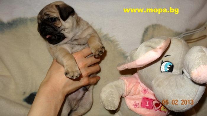 бебета мопс родени в България