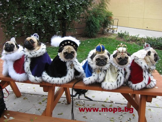 Дрехи за кучета Мопс