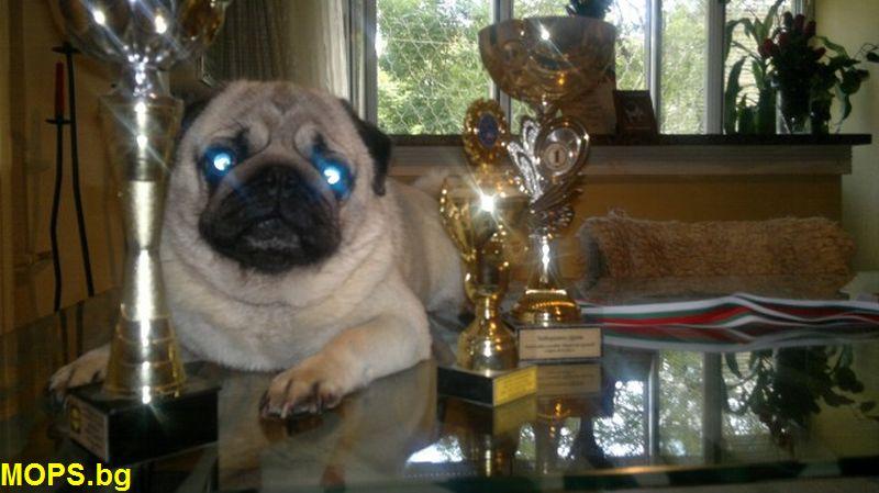 мопс шампион за 2012г.