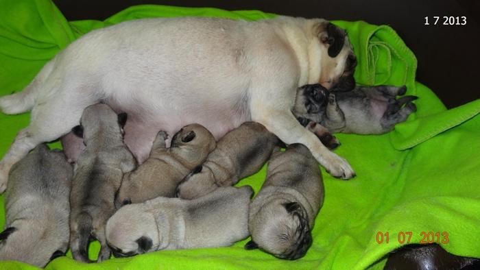 мопс бебета на 10 дни