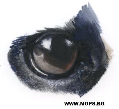 очи на мопс,