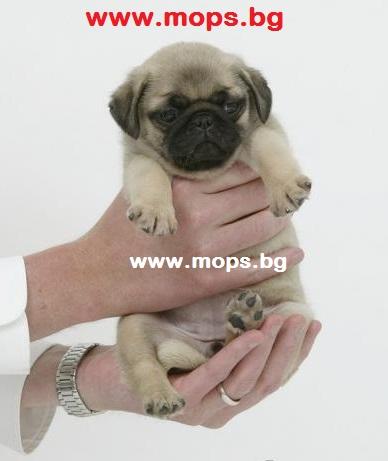 бебета мопс
