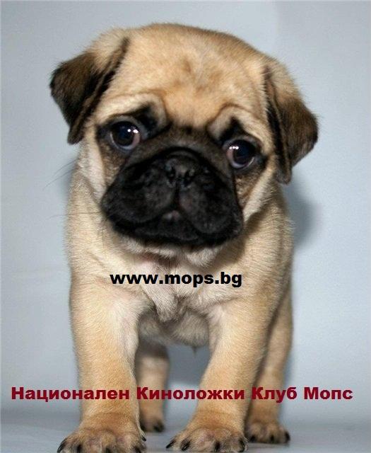 Новородени бебета Мопс
