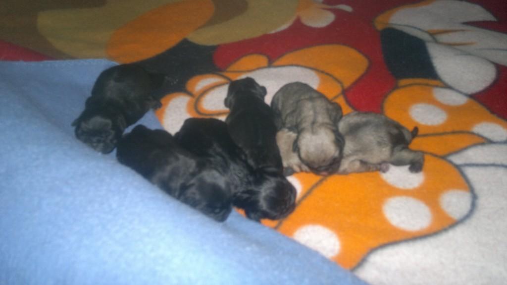 черни и светлобежови бебета мопс