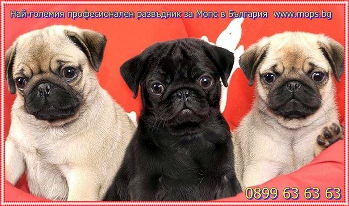 Черни бебета Мопс родени на 17.07.2016г.