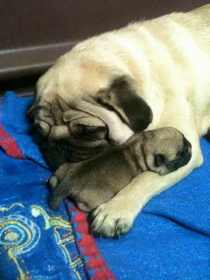 Новородени сребърни бебета Мопс