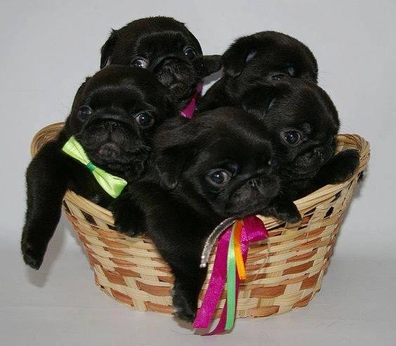 Черни бебета Мопс