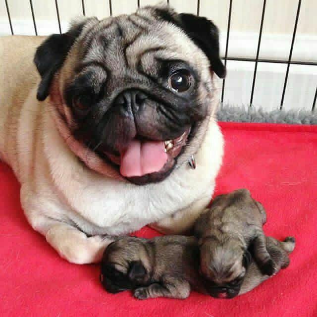 Сребърни бебета Мопс родени на 21.11.2017г.
