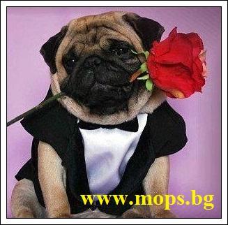 Мопс е куче за обичане Вземете го от Мопс България