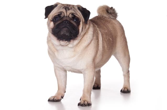 Кучето Мопс е познато със синонимите: Pug,Mops,Carlin