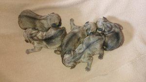 Сребърни бебета Мопс родени на 30.05.2020г.