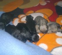 Черни и светлобежови бебета Мопс родени на 25.10.2021г.