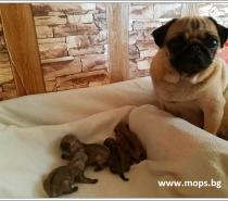 Бебета Мопс родени на 27.07.2021г.