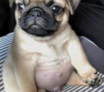 Новородени бебета Мопс на 12.04.2019г.