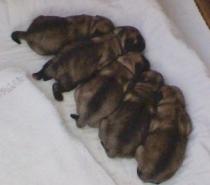 Светлобежови бебета Мопс родени на 24.08.2021г.