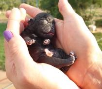 Черни бебета Мопс родени на 21.08.2021г.