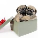 Подарък чистокръвно бебе Мопс