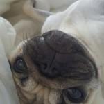 В Мопс България мопсчетата са щастливи и много обгрижвани. Магдалена Даскалова кара всяко кученце да се чувства обичано и специално. Мопс България участва в отглеждането на мъниците, като помага с професионалните си съвети на стопаните им.