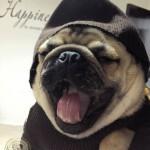 Доволни клиенти от Мопс България-Маги, благодарение на теб (и екипа ти) Гетсби е в живота ни. Не мога да си представя как биха протичали дните ми без него (със сигурност доста скучно!). Това е най-сладкото, весело и добро кученце, което някога съм виждал. Благодаря за професионализма показан във всяко едно отношение – от първия ни разговор до контакта ни след това по всякакви въпроси. Gergana Georgieva